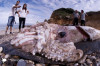 Thumbnail of 30-Foot Giant Squid Found in Cantabria Beach Spain (Video)