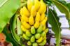 Thumbnail of Benefits Of Bananas
