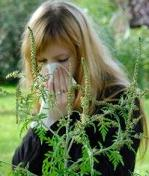 how to treat ragweed allergy