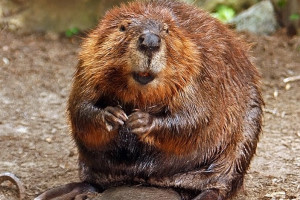beaver-butt and vanilla